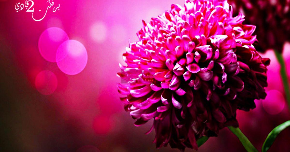 5 فوائد لا تعرفها عن زهرة الأقحوان للشعر