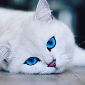 أنواع القطط الشيرازي وسلوكياتها وأضرار ترتبيتها